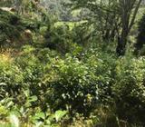 11 Acres Tea Land for Sale in Deniyaya