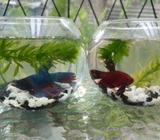2 Fighter with Fish Ball Tank
