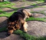 Lion German Sheperd Dog for Crossing