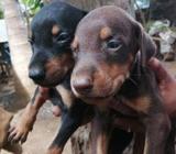 Original Doberman Puppy's