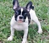 french bull dog pappys for sale