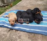 dashund puppies for sale