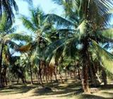 Coconut Land Available for Sale in Giriulla