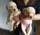Labrador Female KASL/CKC Puppies