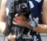 original english cocker spaniel pups for sale