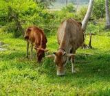 Milking Cow and Heifer