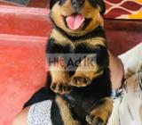 rottweiler puppies ckc registered