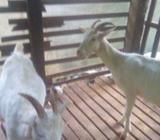 Sanan Goat