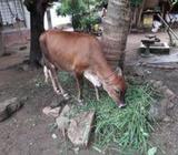 Keppa Cow