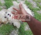original shih tzu (lion dog) puppies