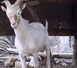 Saanen Male Goat