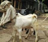 Male and Female Goat