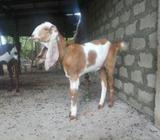 Jamunapari Female Goat