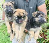 lion german shepherd puppies