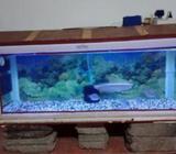 Silver Arowana Fish with Tank