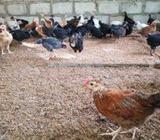 Hens 40 Days