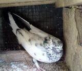 Pakistan Pigeon