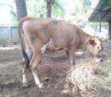 Jercy Cows