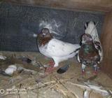 Red Pakistan Pigeons