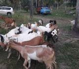 Goats for sale - Wennappuwa