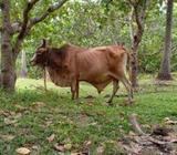 Stud Bull