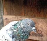 Red Pakistan Pigeon