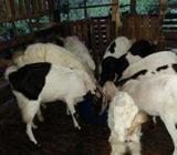 Jamunapari Goats (එලුවන්