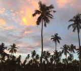 Coconut & Paddy Land for Lease - Narammala