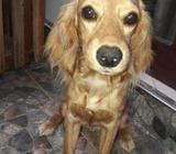 Cocker Spaniel Dog (Female