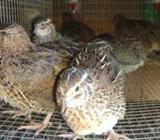 Watu Kukulan Quail Chick Male