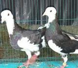 Good Health Pigeon