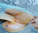 Red Severum Fish