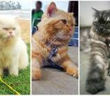 Persian Cat For Crossing STUD