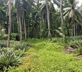 Well Cultivated Land for Sale at Dewalapola, Gampaha.