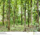 teek plantation