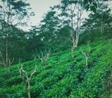 Precious Tea State In Galle