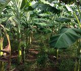 Banana Plants කෙසෙල් පැල (ඇඹුල් ,සීනි,ඇම්බන් )