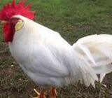 white chicken