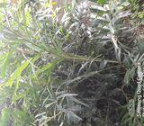 Fox tail trees,plants