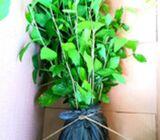 Curtain Creepers / Vernonia plants