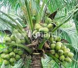 Coconut Land in Ambalanthota