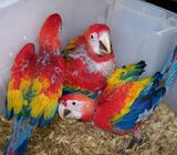 Macaw parrots and Fertile Eggs Ready call or WhatsApp +237650792410