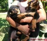 Rottweiler Puppies (CKC REGISTERED)